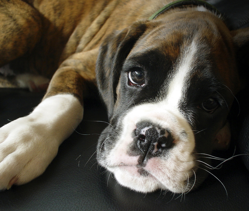 free puppy wallpaper. Image of Boxer Puppy Blog